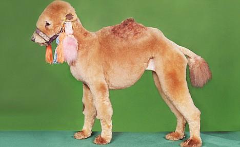 camel-dog