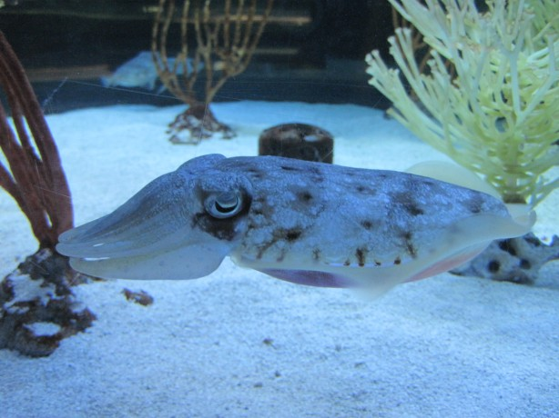 "Cuttlefish says, ""Don't let Mario Battali near me!"""